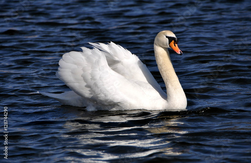 Poster Cygne The swan