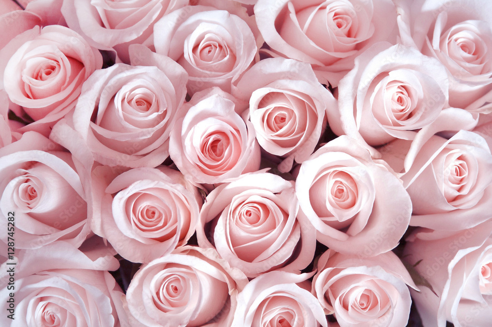 Fototapety, obrazy: Pink roses as a background