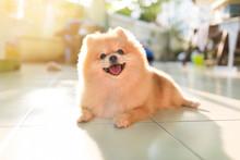 Pomeranian Spitz Smiling Watch The Evening Sun.