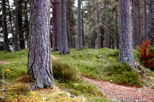 Scot's Pine forest- peering through the young trunks Canvas Print