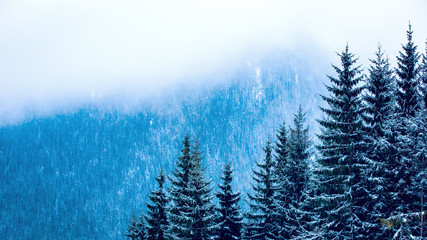 Fototapeta pine forest in winter mountains