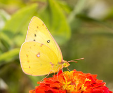 Closeup Of An Orange Sulphur Butterfly Feeding In Fall Garden