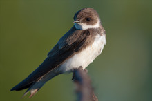 Sand Martin In The Early Morning