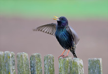 Common Starling Singing On A F...