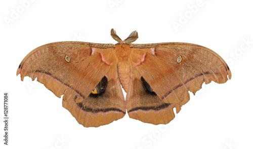 Photo  Polyphemus moth isolated on white