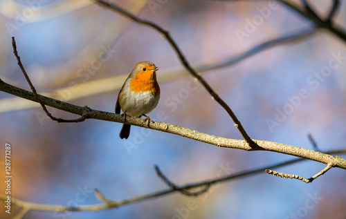 Staande foto Vogel Little red robin bird perched and singing on a tree twig during autumn