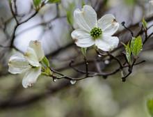 Dogwood Flowers With Raindrops