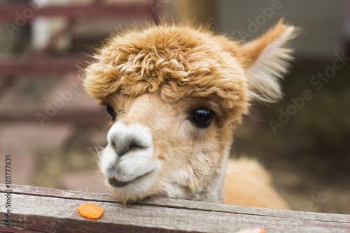 Staande foto Lama Рыжая альпака, животное семейства вердлюдовых