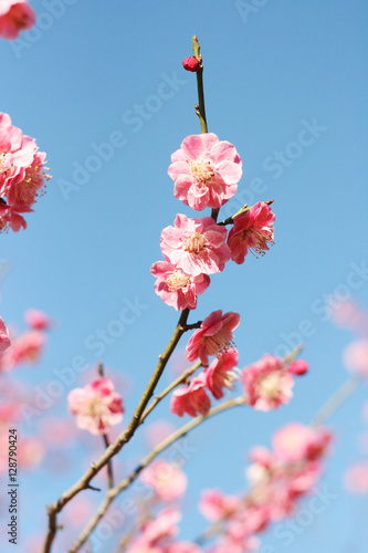 Photo  Cherry blossom and blue sky