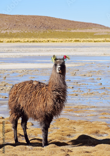 Staande foto Lama Bolivia, Potosi Departmant, Nor Lipez Province, Llama on the shore of the Laguna Yapi.