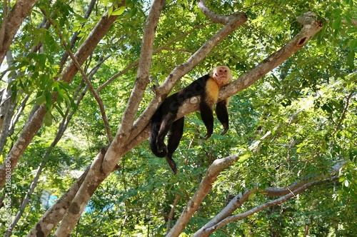 Fotografija  A white faced capuchin monkey in the wild in Costa Rica