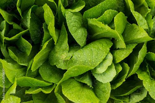 Obraz Romaine lettuce - fototapety do salonu