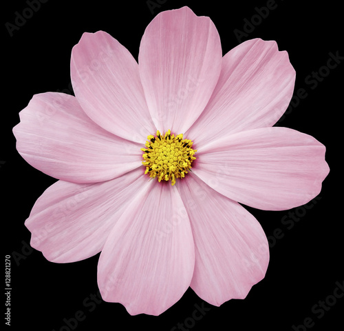 Pink flower primula the black isolated background with clipping pink flower primula the black isolated background with clipping path closeup no shadows mightylinksfo