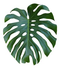 Monstera Large Green Leaf, Tro...