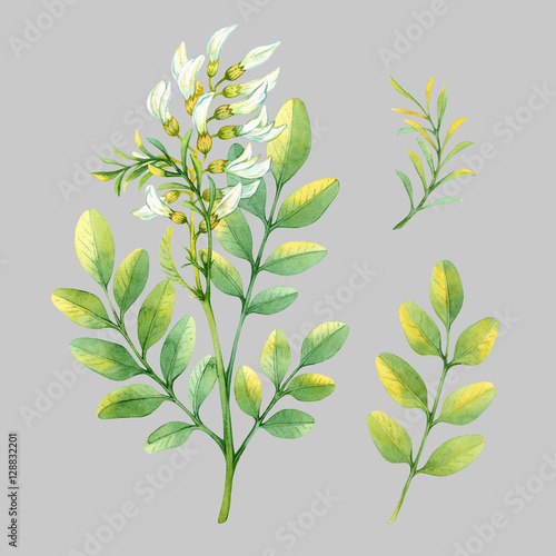 Fototapety, obrazy: Isolated watercolor white acacia