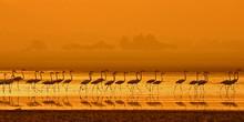 Flock Of Greater Flamingo ( Phoenicopterus Roseus)