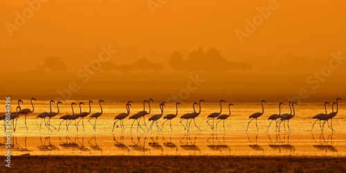 Cadres-photo bureau Flamingo Greater Flamingo ( Phoenicopterus roseus)
