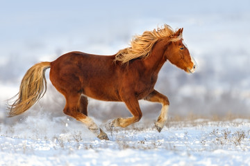 Red horse with long mane run gallop in winter snow field
