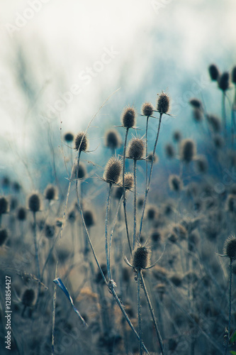 dry thistle in winter autumn  field Wallpaper Mural