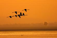 Greater Flamingo ( Phoenicopterus Roseus)
