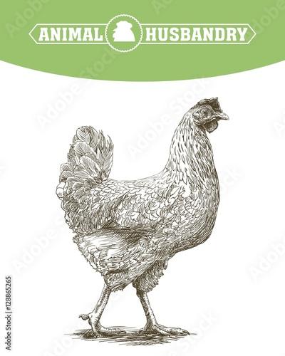 chicken breeding. animal husbandry. livestock Canvas Print