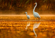 The Egrets In  Morning With Re...