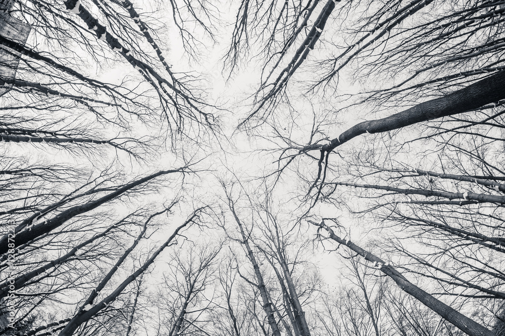 Fototapeta Black and white fisheye d winter trees
