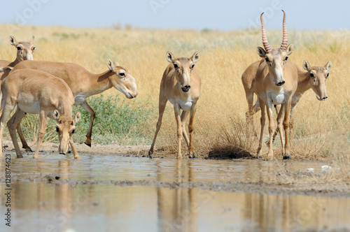 Wild Saiga antelopes near the watering place in the steppe