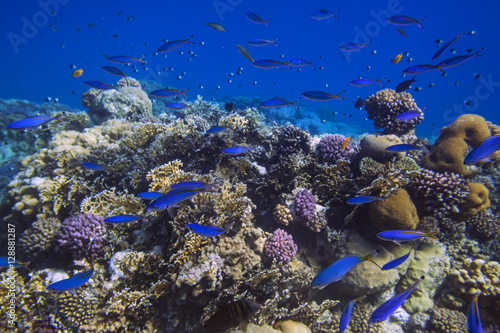 Staande foto Koraalriffen School of bright blue fishes over sunlit coral reef in the Red Sea, Egypt
