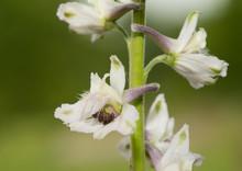Closeup Of A White Prairie Larkspur, A Wild Native Prairie Plant
