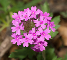 Purple Prairie Verbena In Its Native Habitat In Spring