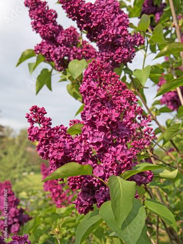 Fotobehang Lilac Violetter Flieder, Syringa, Frühling