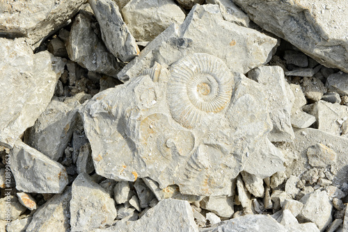 Ammonite fossils in limestone