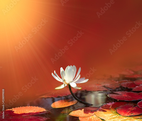 water lily on red background