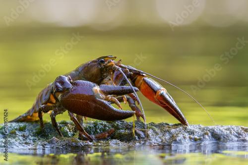 The signal crayfish, Pacifastacus leniusculus
