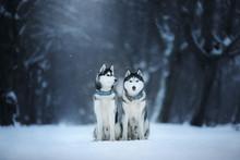 Two Dogs Siberian Husky Sit Ou...