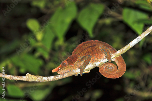Beautiful Cryptic or blue-legged Chameleon (Calumma crypticum) at night in Ranomafana national park, Madagascar
