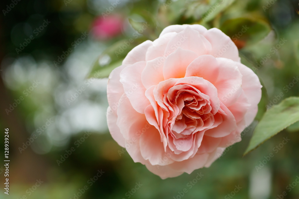 Photo  Close-up of Abraham darby rose, English rose breeder by David Austin