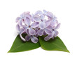 Lilac isolated on white background