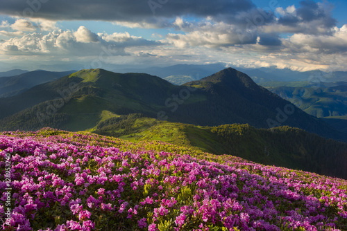 Fototapety, obrazy: rhododendron in the Carpathians