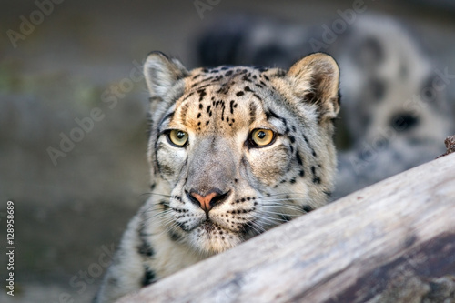 Snow leopard close up portrait with beautiful eyes