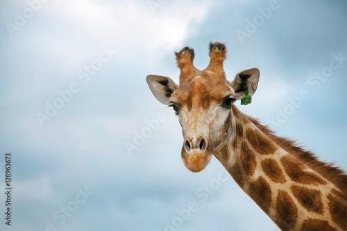 Cadres-photo bureau Girafe The head of Giraffe