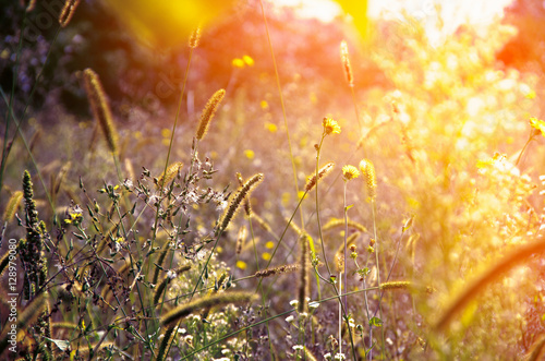 Fotografia  Wild meadow flowers on evening sunlight background.