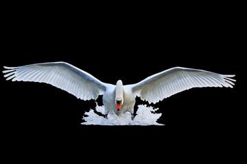 Fototapetamute swan with open wings runs on water isolated black