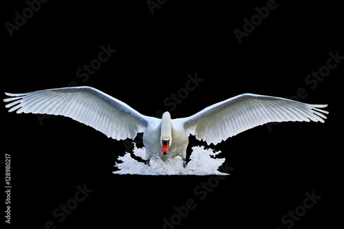 mute swan with open wings runs on water isolated  black