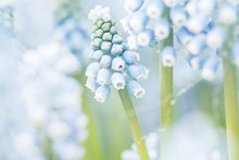 Close Up Of Blooming Blue Grape Hyacinths
