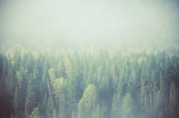 Fototapeta Skandynawski thick morning mist in coniferous forest. coniferous trees, thickets of green forest.