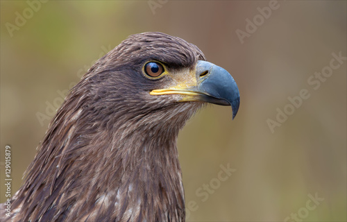 Photo sur Aluminium Aigle White-tailed eagle portrait