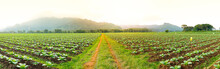 Panorama Road In The Tobacco Field In The Sunset Time.
