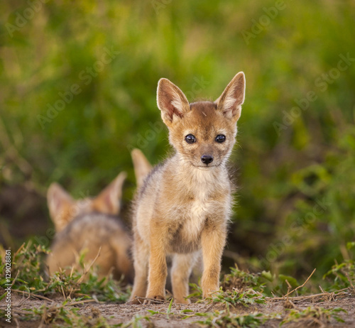 Fotografie, Obraz  An adorable new born baby black backed jackal cub stands staring at viewer near